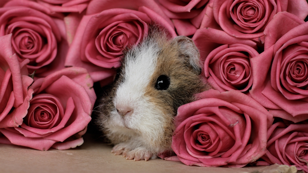 pink peep guinea pig rodent