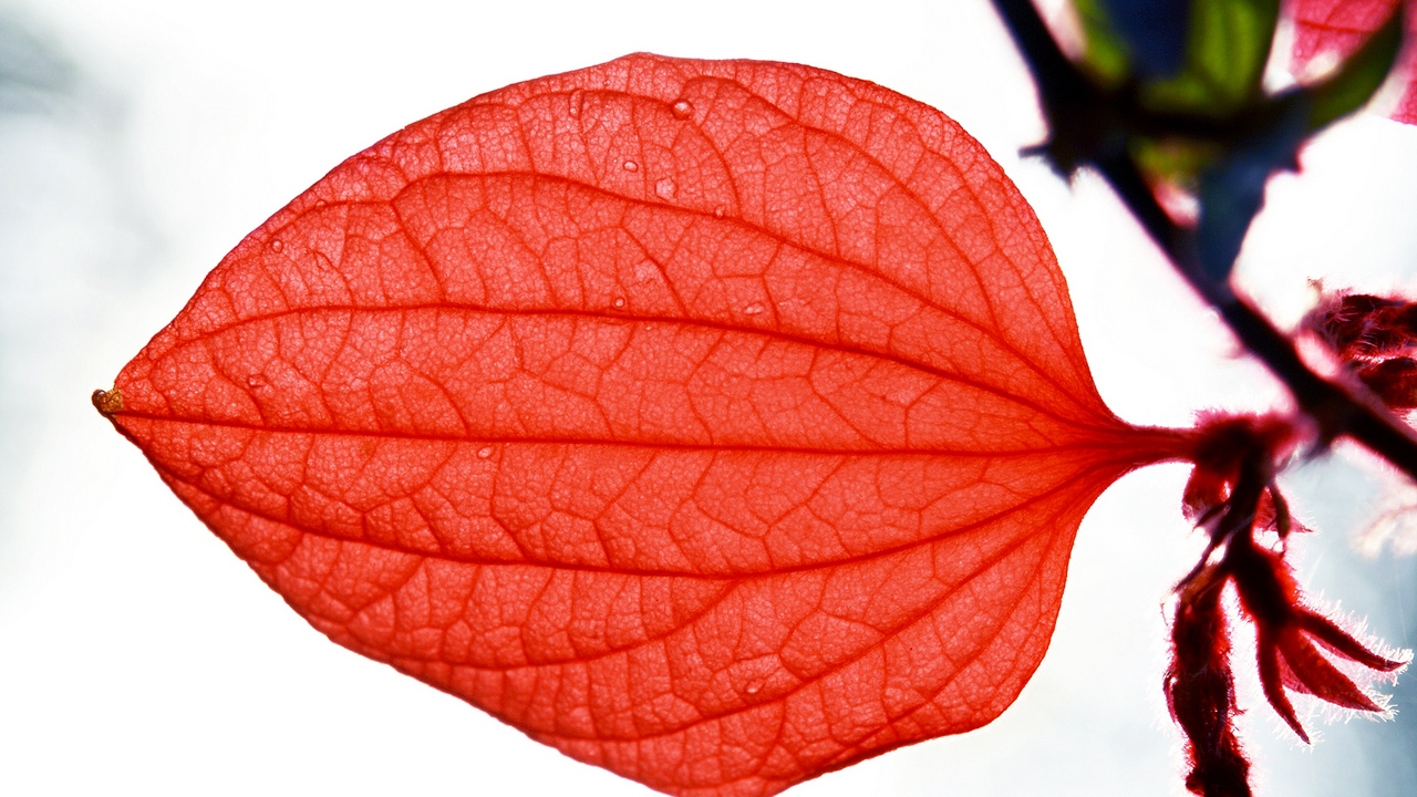 Preview wallpaper leaf, macro, plantain, red