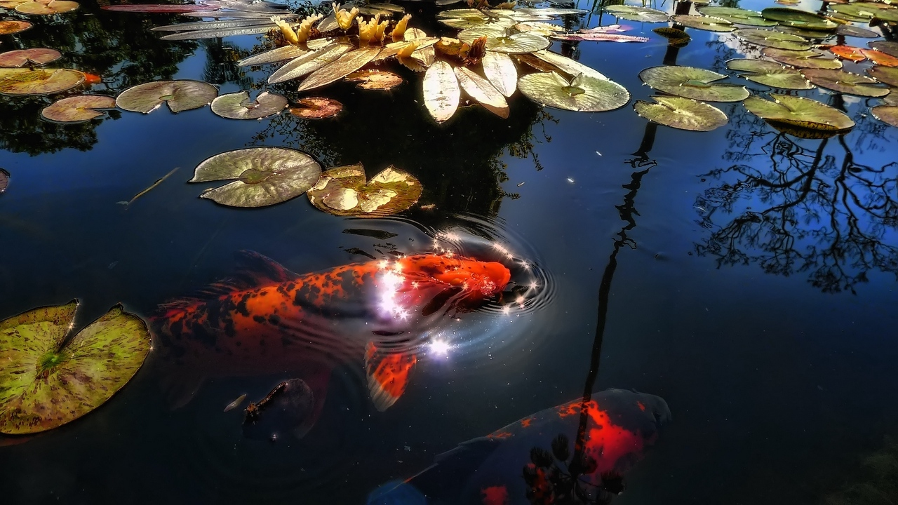 Preview wallpaper fish, lake, leaf, lily, pond, reflection, sunlight