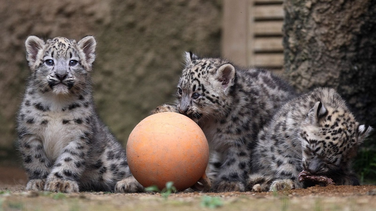 Preview wallpaper ball, cubs, play, snow leopards