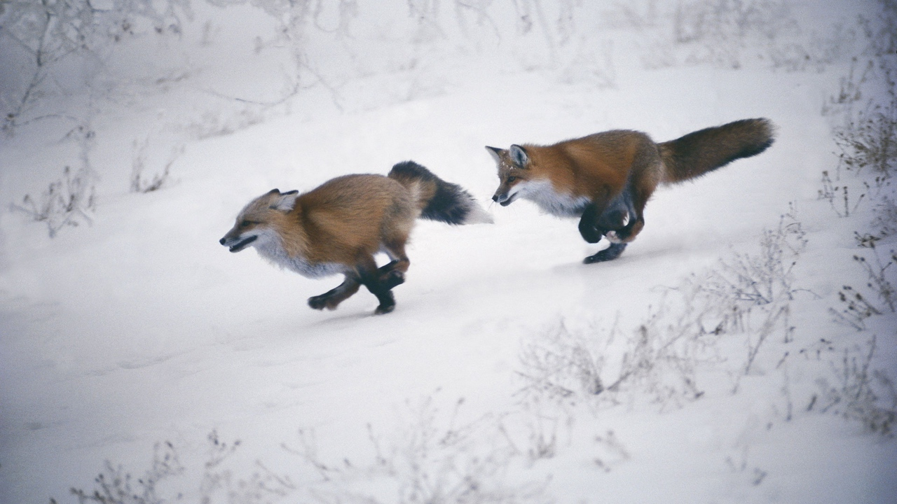 Preview wallpaper foxes, slope, snow, speed, trees, winter