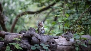 Preview wallpaper rodent, sits, squirrel, tree