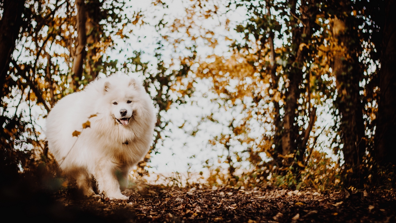 Preview wallpaper cute, dog, fluffy, japanese spitz, tongue protruding, white