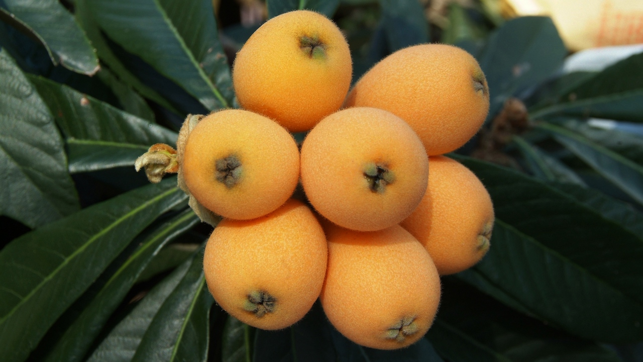 Preview wallpaper chinese plum, fruit, loquat, twig
