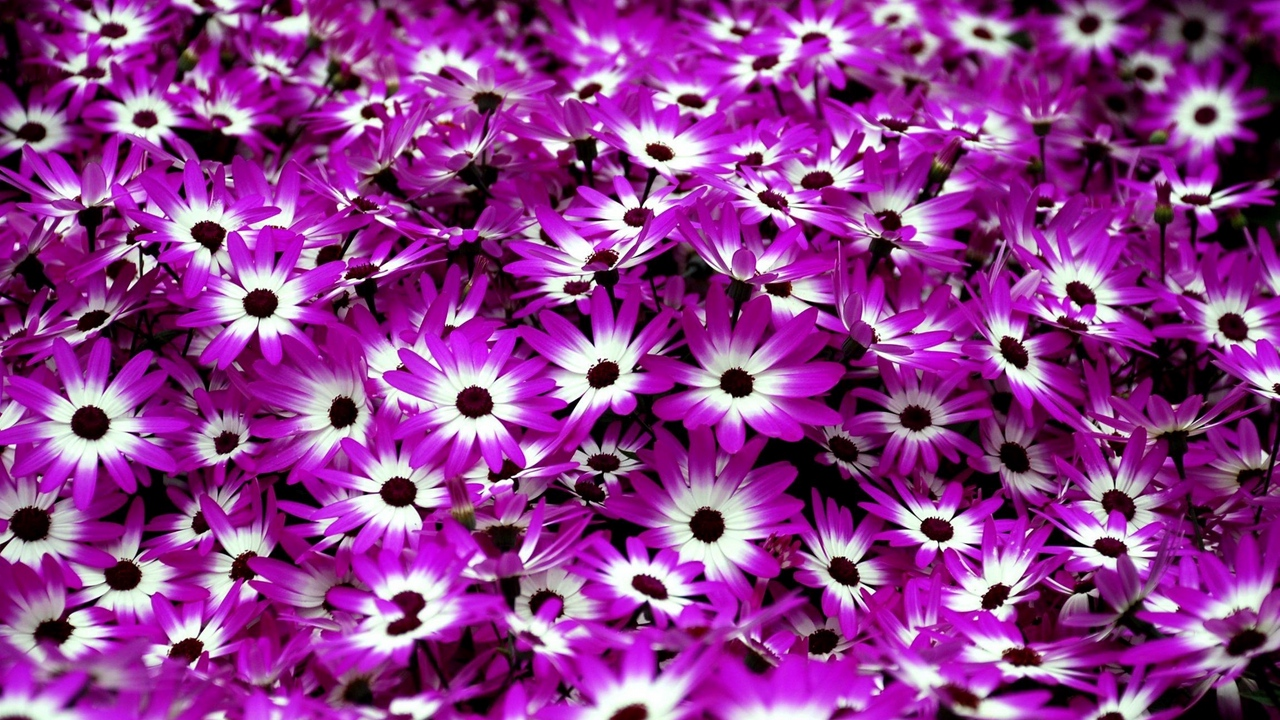 Preview wallpaper bright, cineraria, flowers, two-color