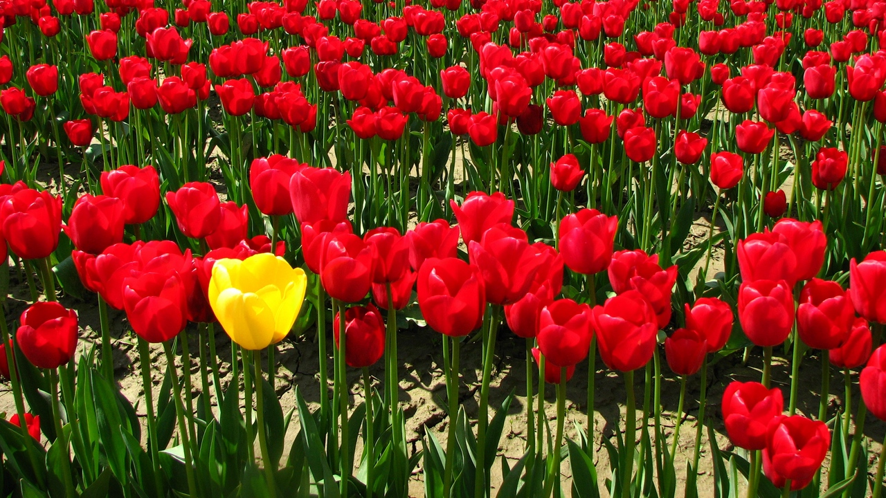 Preview wallpaper flowers, golf, land, tulips, village