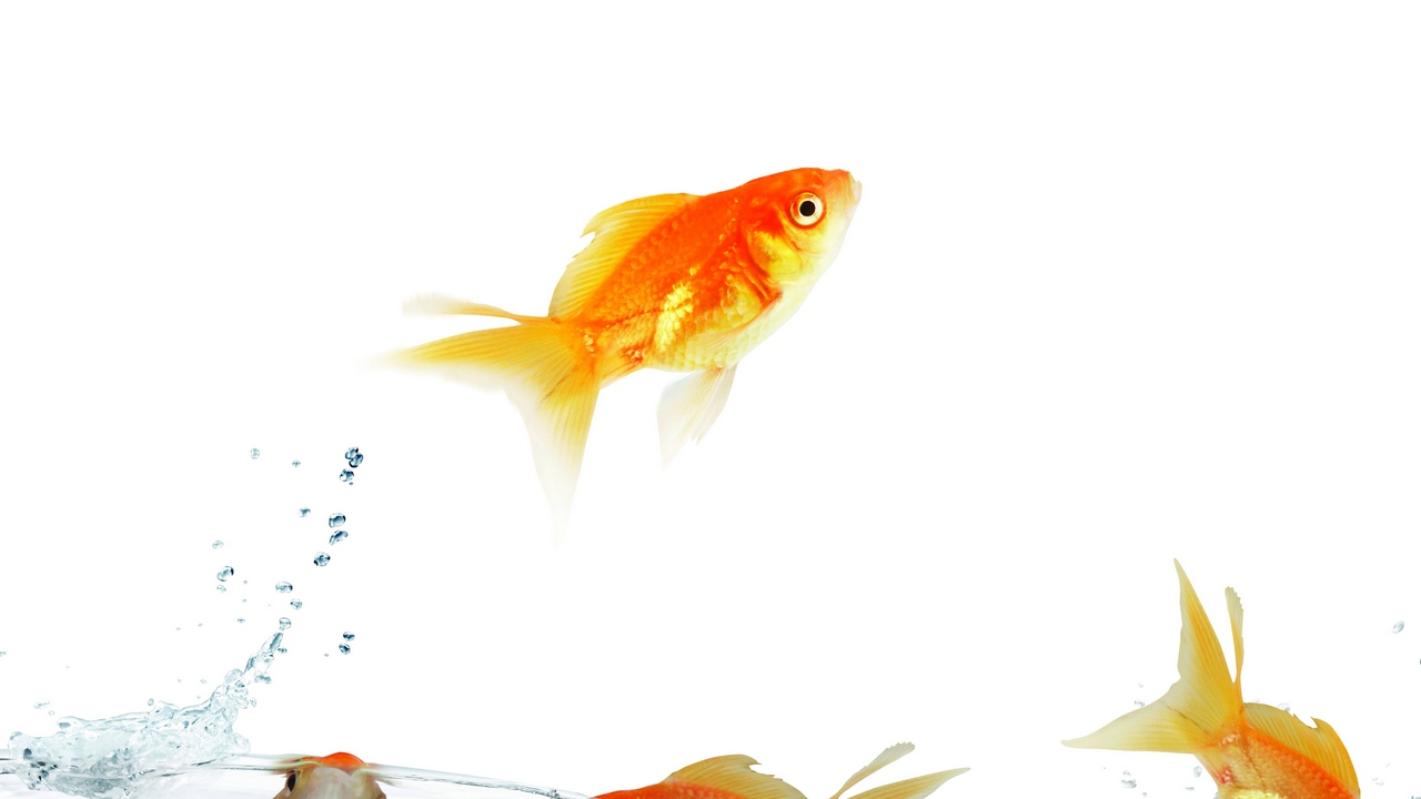 Preview wallpaper fish, traffic, water, white background