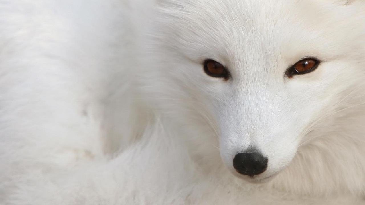 Preview wallpaper arctic fox, eyes, face, white