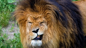 Preview wallpaper aggression, big cat, face, king of beasts, lion, mane, predator, teeth