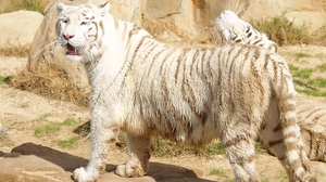 Preview wallpaper albino, stand, thick, tiger