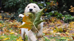 Preview wallpaper autumn, dogs, leaves, puppy, run