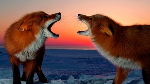 Preview wallpaper conflict, fox, sunset