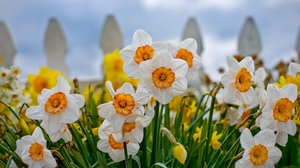 Preview wallpaper close-up, daffodils, fence, flowerbed, flowers