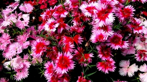 Preview wallpaper carnations, colored, different, flowers, small