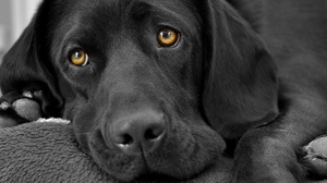 Preview wallpaper dog, eyes, hound