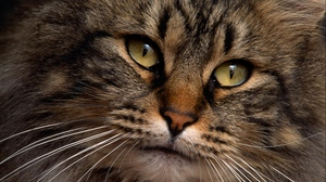 Preview wallpaper cat, face, fluffy, thick