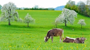 Preview wallpaper cows, food, grass, lie, spring