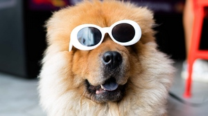 Preview wallpaper chow-chow, cool, dog, glasses, muzzle