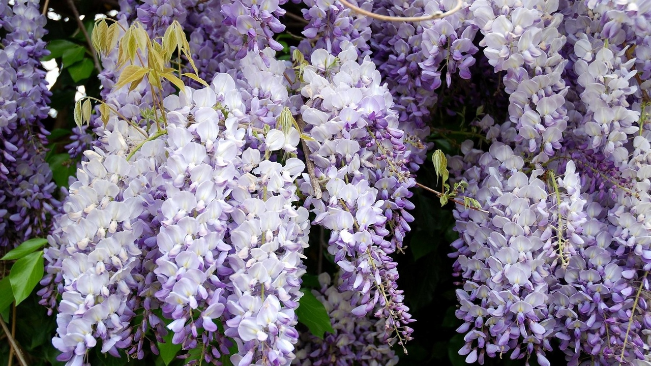grapes leaves branches wisteria