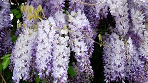 Preview wallpaper branches, grapes, leaves, wisteria