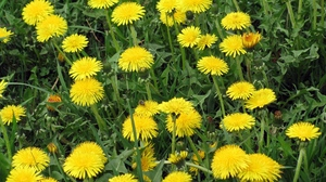 Preview wallpaper bright, dandelions, flowers, grass, meadow, summer, yellow