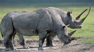 Preview wallpaper food, grass, large, rhinos, steam