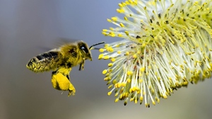 Preview wallpaper bee pollination, gray, willow, yellow