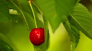 Preview wallpaper berry, cherry, leaves, twig