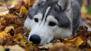 Preview wallpaper dog, grass, leaves, muzzle