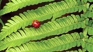 Preview wallpaper fern, insect, ladybug, leaves, plant