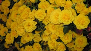 Preview wallpaper beautiful, flowers, many, roses, yellow