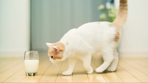 Preview wallpaper cat, flooring, glass, milk, spotted