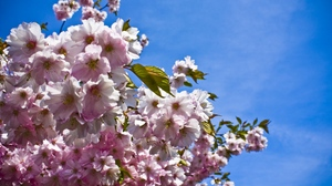 Preview wallpaper branches, flowering, leaves, mood, sky, spring