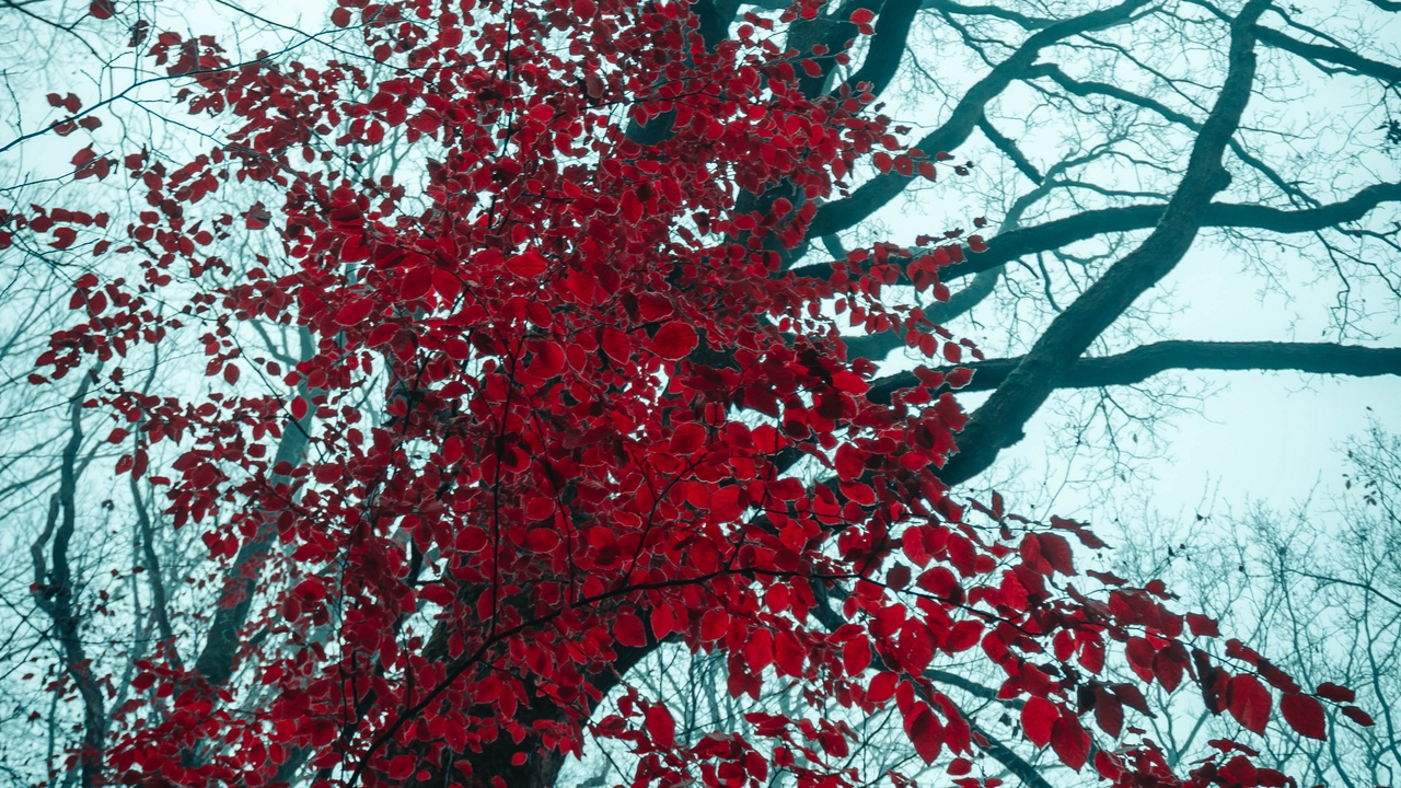 nature leaves trees red tree