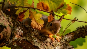 Preview wallpaper branches, leaves, oak, squirrel, tree