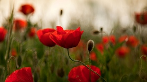 Preview wallpaper field, flowers, herbs, poppies