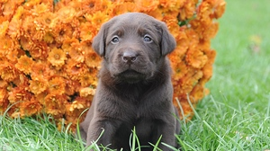 Preview wallpaper flowers, grass, muzzle, puppy