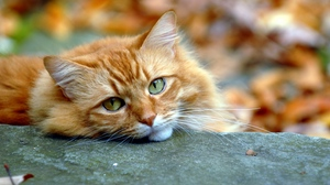 Preview wallpaper autumn, cat, opinion, red