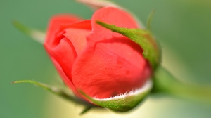 Preview wallpaper blurred, bud, close-up, rose