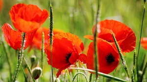 Preview wallpaper petals, poppies, red, stem