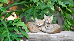 Preview wallpaper cats, couple, lie, striped