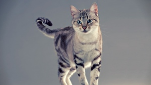Preview wallpaper cat, stand, tabby