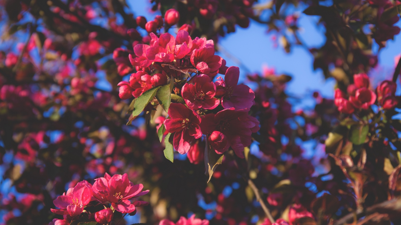 tree flowering branches pink flowers