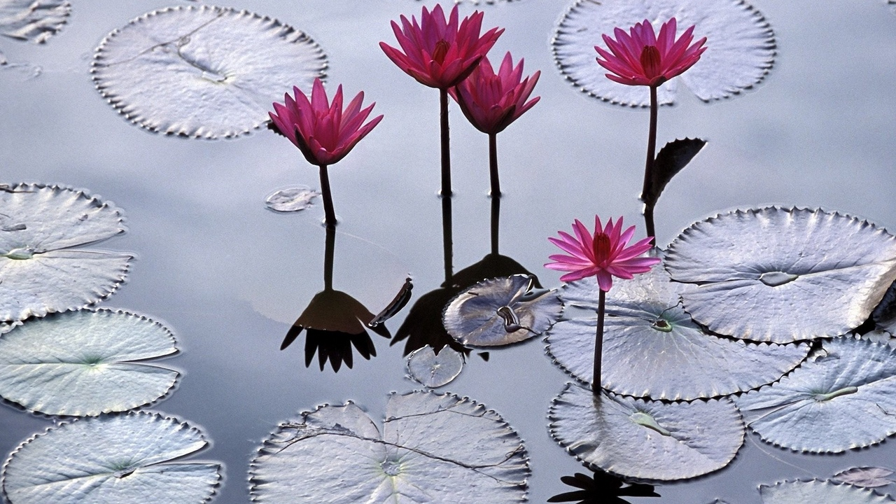 water reflection surface water lilies leaves