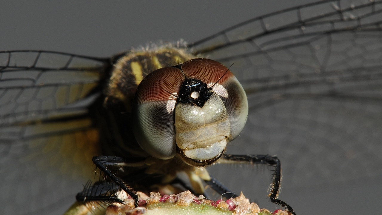 wings eyes insect