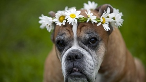 Preview wallpaper daisies, dog, flowers, wreath