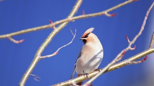 Preview wallpaper bird, branches, close-up