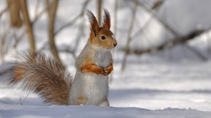 Preview wallpaper branches, snow, squirrel, tail, winter