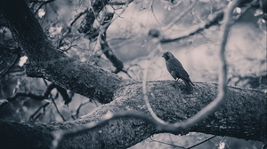 Preview wallpaper bird, branches, bw, crow, tree