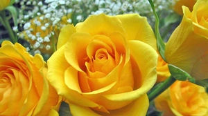 Preview wallpaper buds, close-up, roses, yellow